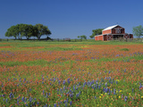 Texas Paintbrush and Texas Bluebonnets Flowering in a Meadow or Pasture Near a Red Barn Photographic Print by Adam Jones