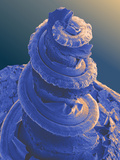 Cochlea, SEM Photographic Print by David Furness