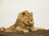 Lion (Panthera Leo) Masai Mara Game Reserve, Kenya Photographic Print by Joe McDonald