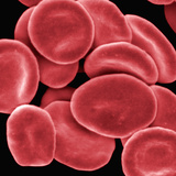 Red Blood Cells, SEM X5000 Photographic Print by Fred Hossler