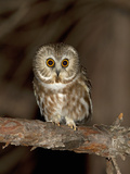 Northern Saw-Whet Owl (Aegolius Acadicus), Maine, USA Photographic Print by Garth McElroy