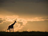 Masai Giraffe (Giraffa Camelopardalis) at Twilight in the Masai Mara Game Reserve, Kenya Photographic Print by Joe McDonald