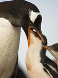 Gentoo Penguin (Pygoscelis Papua) Feeding a Chick, Antarctica Photographic Print by Joe McDonald