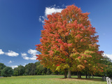 Red Maple Tree in Autumn Colors, Near Concord, Massachusetts Photographic Print by Adam Jones