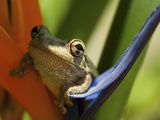 Cuban Tree Frog (Osteopilus Septentrionalis) on a Bird of Paradise (Strelitzia Reginae) Vero Beach Photographic Print by Jeff Howe