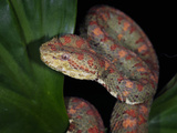 Eyelash Pit Viper (Bothriechis Schlegelii), Captive Photographic Print by Michael Kern
