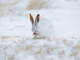 White-Tailed Jackrabbit (Lepus Townsendii) Grooming, Montana, USA Photographic Print by Neal Mischler