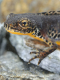 Head of an Alpine Newt (Mesotriton Alpestris), Italy Photographic Print by Fabio Pupin