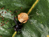 A Female Black Widow Spider (Latrodectus Mactans) Attending to Her Young and Egg Sac, Vero Beach Photographic Print by Jeff Howe