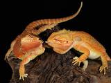 Bearded Dragon (Pogona Vitticeps), Captive Photographic Print by Michael Kern