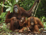 Borneo Orangutan Family with a Baby (Pongo Pygmaeus) Tanjung Puting National Park, Kalimantan Photographic Print by Thomas Marent
