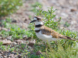 Killdeer (Charadrius Vociferus), North America Photographic Print by Neal Mischler