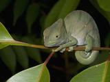 Parsons Chameleon (Calumma Parsonii) Fotodruck von Joe McDonald