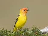 Western Tanager (Piranga Ludoviciana) Perched on Pine Reproduction photographique par Steve Maslowski