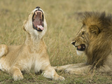 African Lion Pair (Panthera Leo) Mating Behaviors, Masai Mara, Kenya Photographic Print by Joe McDonald