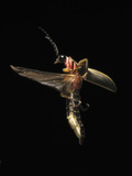 Firefly Flying, Showing the Elytra Lifted Off the Flight Wings Photographic Print by Terry Priest