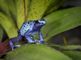 Blue Poison Frog (Dendrobates Azureus), Captive Photographic Print by Michael Kern