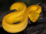Mcgregor's Pit Viper (Parias Mcgregori), Captive Photographic Print by Michael Kern