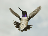 Male Black-Chinned Hummingbird Flying (Archilochus Alexandri) Photographic Print by Joe McDonald