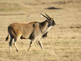 Eland (Taurotragus Oryx), Ngorongoro Crater, Tanzania Photographic Print by Mary Ann McDonald