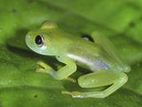 Glass Frog (Cochranella), San Cipriano Reserve, Cauca, Colombia Photographic Print by Thomas Marent