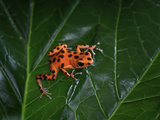 Strawberry Poison Dart Frog (Dendrobates Pumilio Bastimentos),  Native to Bastimentos Island Photographic Print by Michael Kern