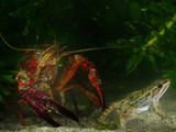 Red Swamp Crayfish (Procambarus Clarckii) Can Prey on Even Adult Amphibians Fotografisk tryk af Fabio Pupin