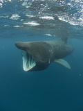 Basking Shark (Cetorhinus Maximus) with its Open Mouth Feeding on Plankton Photographic Print by Louise Murray