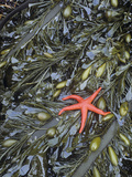 Blood Star, Henricia Leviuscula, on Brown Algae, Egregia Menziesii, in a Tide Pool Photographic Print by Doug Sokell