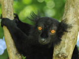 Male Black Lemur Face (Eulemur Macaco Macaco) Lokobe Nature Special Reserve, Northern Madagascar Photographic Print by Thomas Marent