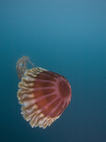 Black Sea Nettle (Chrysaora Achlyos) Los Coronados Photographic Print by Richard Herrmann