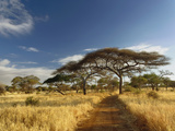 Primitive Dirt Roadway and Acacia Trees in Late Afternoon Light, Tarangire National Park, Tanzania Fotografie-Druck von Adam Jones