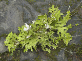 Lungwort (Lobaria Oregana) Common Foliose Lichen Which Grows High on Trees Photographic Print by Robert & Jean Pollock