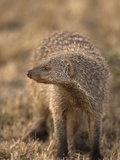 Banded Mongoose (Mungos Mungo) Walking in the Masai Mara Game Reserve, Kenya Photographic Print by Joe McDonald
