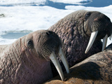 Walrus (Odobenus Rosmarus Rosmarus) on Pack Ice to Rest and Sunbathe Photographic Print by Louise Murray