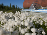 Cottongrass (Eriophorum Callitrix) Grows Alongside an Abandoned Boat and Storage Tank, Siberia Photographic Print by Chris Linder