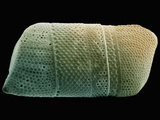 Diatom Biddulphia Showing Details of its Silicious Shell, SEM X310 Photographic Print by Richard Kessel