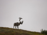Barren-Ground Caribou (Rangifer Tarandus Groenlandicus) on a Tundra Ridge in Denali National Park Photographic Print by Joe McDonald