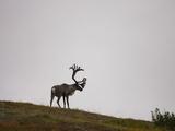 Barren-Ground Caribou (Rangifer Tarandus Groenlandicus) on a Tundra Ridge in Denali National Park Photographic Print by Joe McDonald