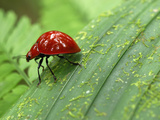 Red Leaf Beetle, Braulio Carillo National Park, Costa Rica Photographic Print by Thomas Marent