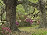 Live Oak Trees Above Azaleas in Bloom, Magnolia Plantation, Near Charleston, South Carolina Photographic Print by Adam Jones