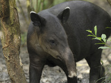 Baird's Tapir (Tapirus Bairdii), Belize Photographic Print by Thomas Marent