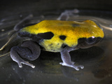 Yellowback Poison Dart Frog (Dendrobates Tinctorius), Captive Photographic Print by Michael Kern