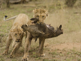 African Lions (Panthera Leo), One Carrying the Carcass of a Warthog in its Mouth, Masai Mara Photographic Print by Joe McDonald