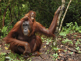 Borneo Orangutan Female with a Baby (Pongo Pygmaeus) Tanjung Puting National Park, Kalimantan Photographic Print by Thomas Marent