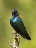 Greater Blue-Eared Glossy Starling (Lamprotornis Chalybaeus) Sitting in a Branch Photographic Print by Joe McDonald