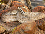 Western Diamondback Rattlesnake (Crotalus Atrox) Photographic Print by Jack Milchanowski