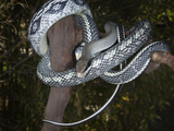 Beauty Snake (Elaphe Taeniura), Captive Photographic Print by Michael Kern