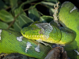 Emerald Tree Boa (Corallus Caninus) Shedding Skin, Native to Papua New Guinea, Captive Photographic Print by Michael Kern