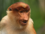 Female Proboscis Monkey Head (Nasalis Larvatus), Sabah, Borneo, Malaysia Photographic Print by Thomas Marent